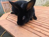 Standard Rex Rabbits for sale