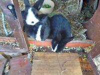Baby Alaskan/mini lop rabbits