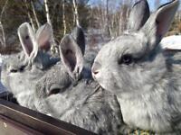 American Chinchillia Rabbits