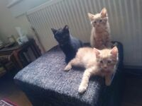 Ginger Kitten for Sale - 9 weeks old