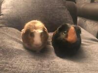 Two 1 yr old brother guinea pigs