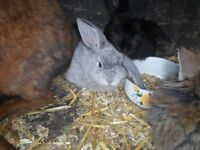 french lop cross baby bunnies