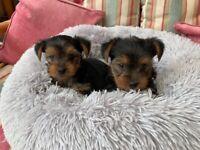 Yorkshire terrier boy pup