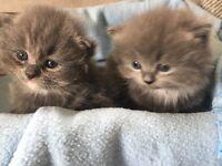 Persian/Ragdoll cross grey kittens £300