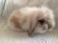 Bunny Mini Lop Cross