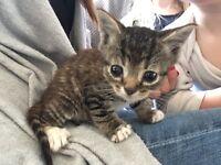 9 week old kitten