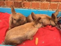 3 amigos! 3 Female lionhead cross