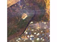 Assassin Snails. Clea helena. Tropical freshwater aquarium inverts
