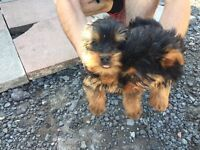 3 Yorkshire terrier puppy's 2 girls 1 boy