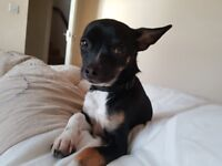 Chihuahua / Jack Russel, 7 month old Male, Loving
