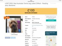 Lost Australian Terrier, Clifford, went missing monday night near Ruscombe. reward if found (gbp100)