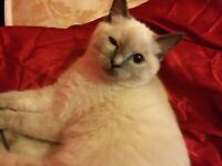 LOST WHITE SHORTHAIRD FEMALE RAGDOLL WAVETREE AREA