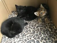 Beautiful black males kittens looking for new home