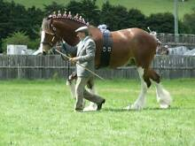 CLYDESDALE STALLION Highclere Burnie Area Preview