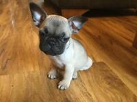Frug puppies ready to leave pug mum & french bulldog dad both can be seen