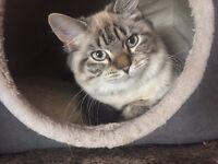 Missing Female Cat, Larkhall