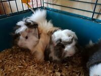 Long Haired Guinea Pigs