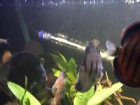 Blue discus for sale