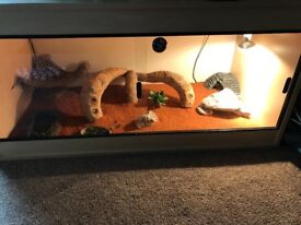 Young Bearded dragon and set up for sale