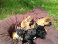 French Bulldog Puppies for sale- Nr Hornsea East Coast