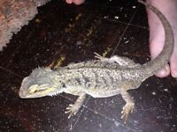£80 1 and half year old bearded dragon, beautiful natured £180 for 4ft viv full set up.