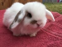 Beautiful mini lop baby bunnies