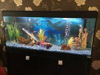 Fluval Roma 240 Tropical Aquarium c/w Cabinet, light hood, heater, filter, air pump and extras