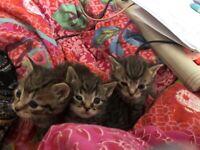 Gorgeous Fluffy little Tabby Kittens