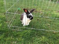 2 Male Rabbits and Run and 2 tier hutch (FREE to a good home)