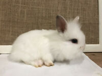 Cutest Rabbits Ever Lionhead Kits Ready for New Home! - Bromborough, Wirral