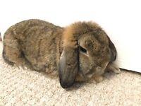 Brown Mini Lop Female Rabbit Bunny Pet