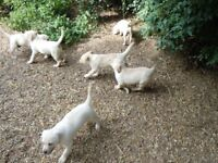 LABRADOR PUPPIES for sale. Yellow boys and girls available now.