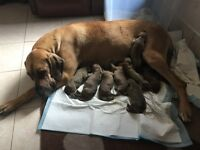 Great Dane Puppies for good homes