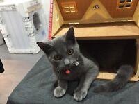 Grey Kitten Lost