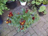 Wallflower plant in flower now in a 20 cm plastic pot