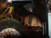 4 x clown loaches for fish tank aquarium kof wembley