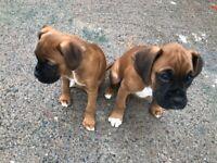 3 boxer pups