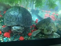 Two turtles with tank, equipment and food