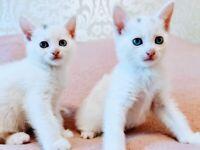 Lovely white kittens girls for sale