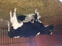 3 Holstein steers for sale