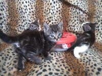 1 Grey kitten left to Reserve - 1/2 ragdoll. Ready 6 October