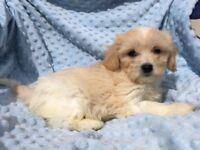 Cavachon Puppies - Ready now!!