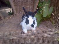 Baby Mini Rex rabbits ready now 3 bucks left near Melton Mowbray