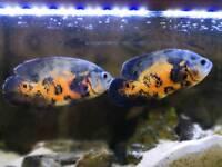 2 x OSCARS fish £120