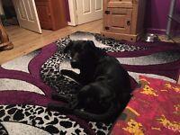 Black Labrador cross! Free