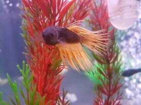 Male crown tail betta tropical fish