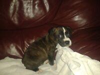 female Staff X Bulldog pup for sale