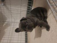 French Bulldog Puppies Blue kc