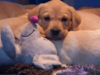 Beautiful yellow Labrador puppies for sale