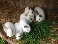 DWARF WHITE RABBITS MALE AND FEMALE READY TO GO NOW!